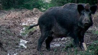 Repeat youtube video The Shooting Show 100th show special -- Coburg wild boar and a big bag of pigeons