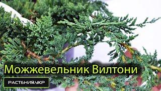 Можжевельник горизонтальный Вилтони / Можжевельник посадка и уход / хвойные растения(, 2015-04-25T08:54:34.000Z)