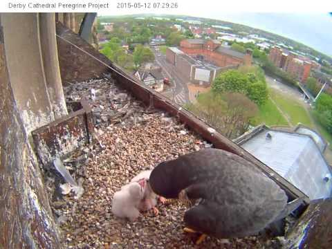 Derby Peregrines 2015 (10) Food for Three