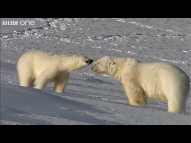 Polar Bear On The Prowl - Frozen Planet - BBC One