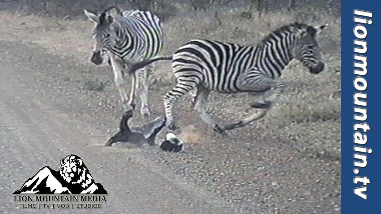 "The Full story behind the ""Honey Badger mom protects baby from Zebra"" - Tourist Boets Nel saw a fearless mum Honey Badger protecting her young baby by attacking Zebra several times her size and chasing them off."