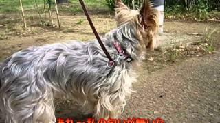 愛犬クッキー(ヨークシャーテリア)現在8才 (2014-12)