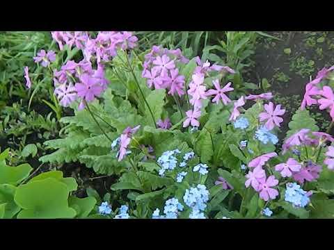 Примулы, незабудки, ветреницы в саду в начале лета