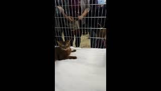 Сомалийская кошка на выставке