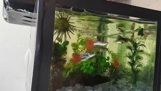 Guppys (Lebistes)!!! Novos casais no mini aquário!!!