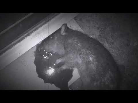 NIGHT RATTING - BERBURU TIKUS - Photon RT - pest control