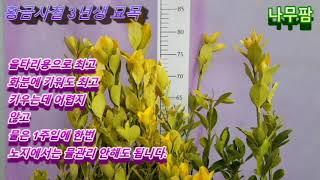 [나무팜] 황금사철 3년생 묘목 /울타리나무/황금사철나…