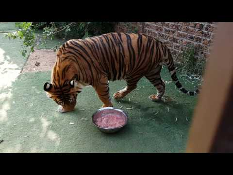 Inside tiger enclosure while they eat!