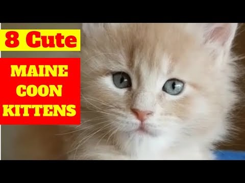 Maine Coon Kittens - 8 of the Cutest Maine Coon Kittens playing 😻😻