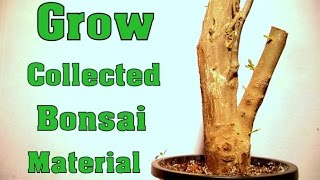 How To Grow Collected Bonsai Material with Update / Pomegranate Care & Tips  // Mammal Bonsai