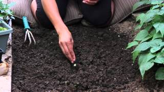 Space Between Corn Seed When Planting : The Chef's Garden