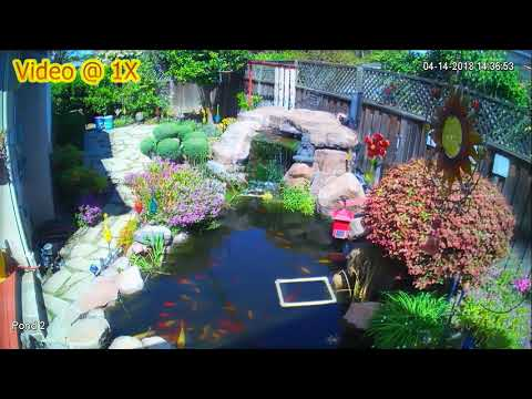 Modified Motion Driven Sprinkler Finally Effective Against Heron At My Koi Pond