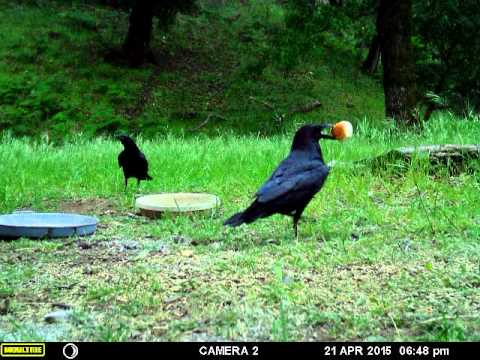 ravens fighting over the 3rd hawaiian roll