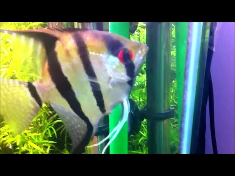 Angel Fish Showing Signs To Spawn