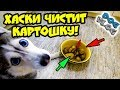 DOGVLOG: ХАСКИ ЧИСТИТ КАРТОШКУ! Говорящая собака