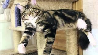 Кот мейн кун Dotcom Yabba 1 год, питомник Grey Claw`s http://coonplanet.ru