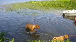 Dogue De Bordeaux And Puggle At The Lake 3