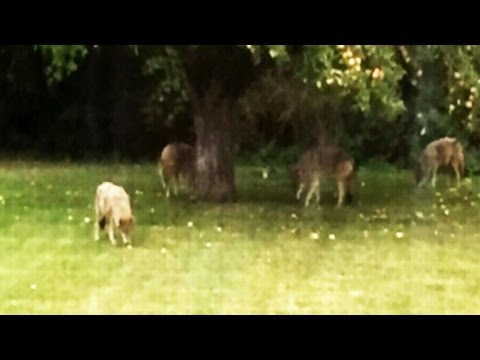 Resident nervous after spotting 4 coyotes in Montreal suburb