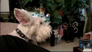 Observant scottish terrier Mr H. is watching sports on TV while sit...