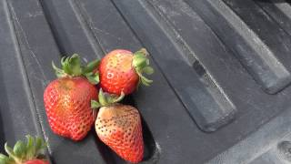 Live from the Fields: Strawberries. Watsonville, CA