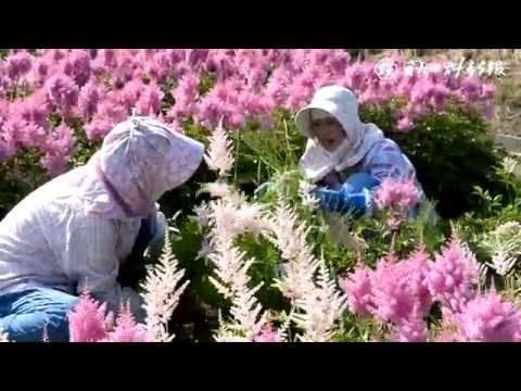初夏の花アスチルベの収穫始まる秋田市