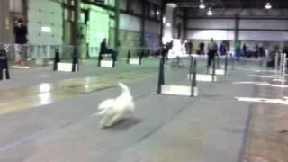 Flyball Westie