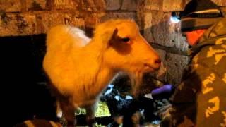 Ухаживание за новорожденными козлятами. Как помочь козлятам в первые часы жизни.
