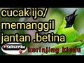 Cucak Ijo Kepala Kuning Memanggil Jantan Dan Betina  Mp3 - Mp4 Download