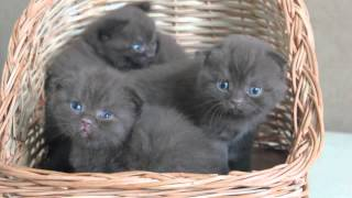 Копия видео Шоколадные вислоухие и прямоухие котята