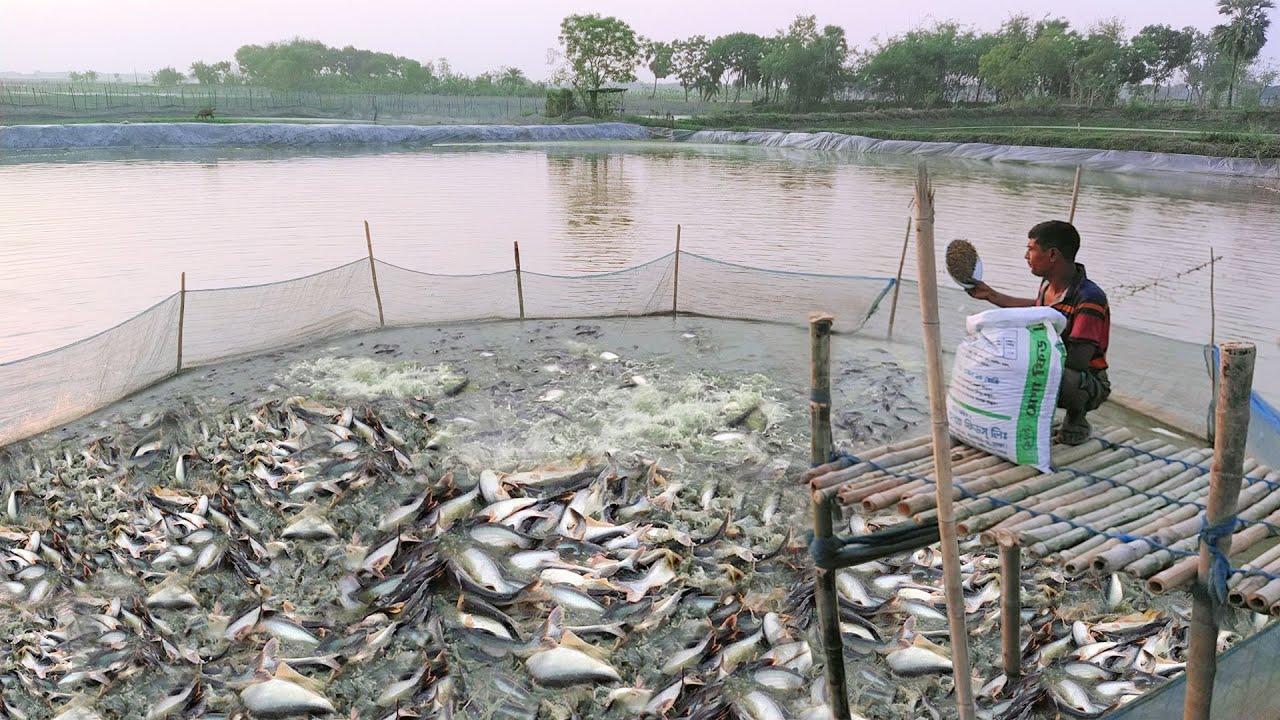 Pangasius Fish Feeding In Pond part 5   Amazing Feeding System   Fish Farming   Wild Fish Hunting