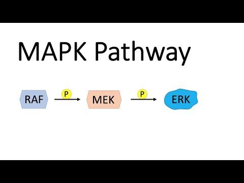 MAP Kinase Pathway (MAPK) with RAF, MEK and ERK