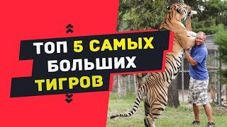 САМЫЕ САМЫЕ большие тигры в мире | ТОП 5 самых больших в мире тигров