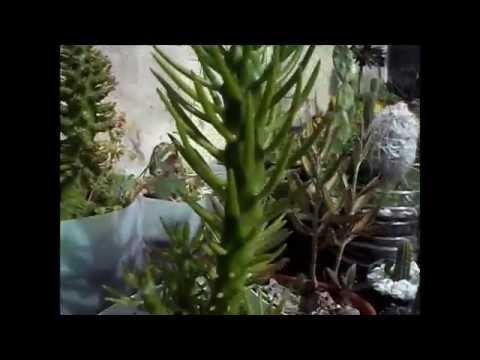 Vivero talapancum cactus crasas youtube for Vivero de cactus