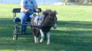 Go Go Pony! Driving Saber The Mini Horse At A Canter
