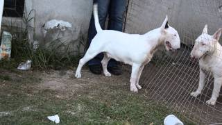 "Bull Terriers Mexico- ""megan""   Eliot´s Daugther"