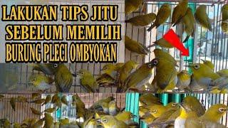 Tips Cara Memilih Burung Pleci Ombyokan Fighter