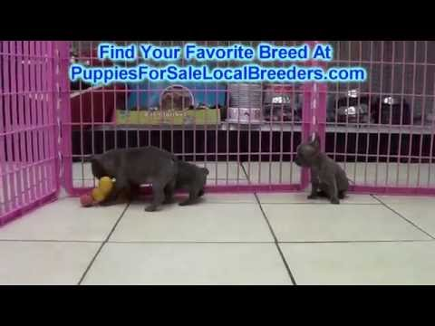 French Bulldog, Puppies For Sale, In Knoxville, County, Tennessee, TN, 19Breeders, Murfreesboro