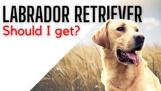 Should I get Labrador Retriever? | Top 10 dog breeds