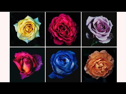 The Rose You Pick Will Reveal Your True Personality