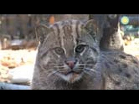 Lek the Fishing Cat Gets a New Home