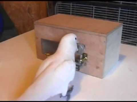 Cockatoos solve complex puzzles, pick various mechanical locks