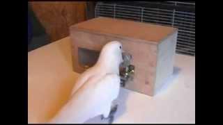 Cockatoos solve complex puzzles, pick various mechanical locks