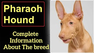 Pharaoh Hound or Kelb tal Fenek. Pros and Cons, Price, How to choose, Facts, Care, History