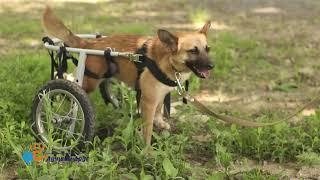 В добрые руки Майка - собака на коляске!