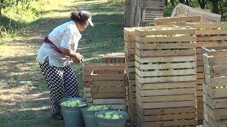 გორის მუნიციპალიტეტში მცხოვრებ ფერმერებს ხილის რეალიზაცია უჭირთ 04.10.2018