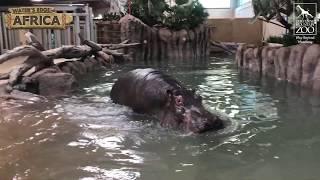 Hippos Return to Cheyenne Mountain Zoo!