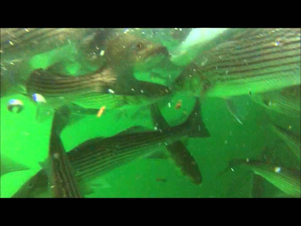 Swiming in a Striped Bass Boil