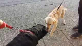 Rottweiller Vs Labrador Fight