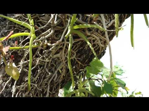 Rejuvenating Herbal Teas for Military Commandos. Part-2134.  © Pankaj Oudhia