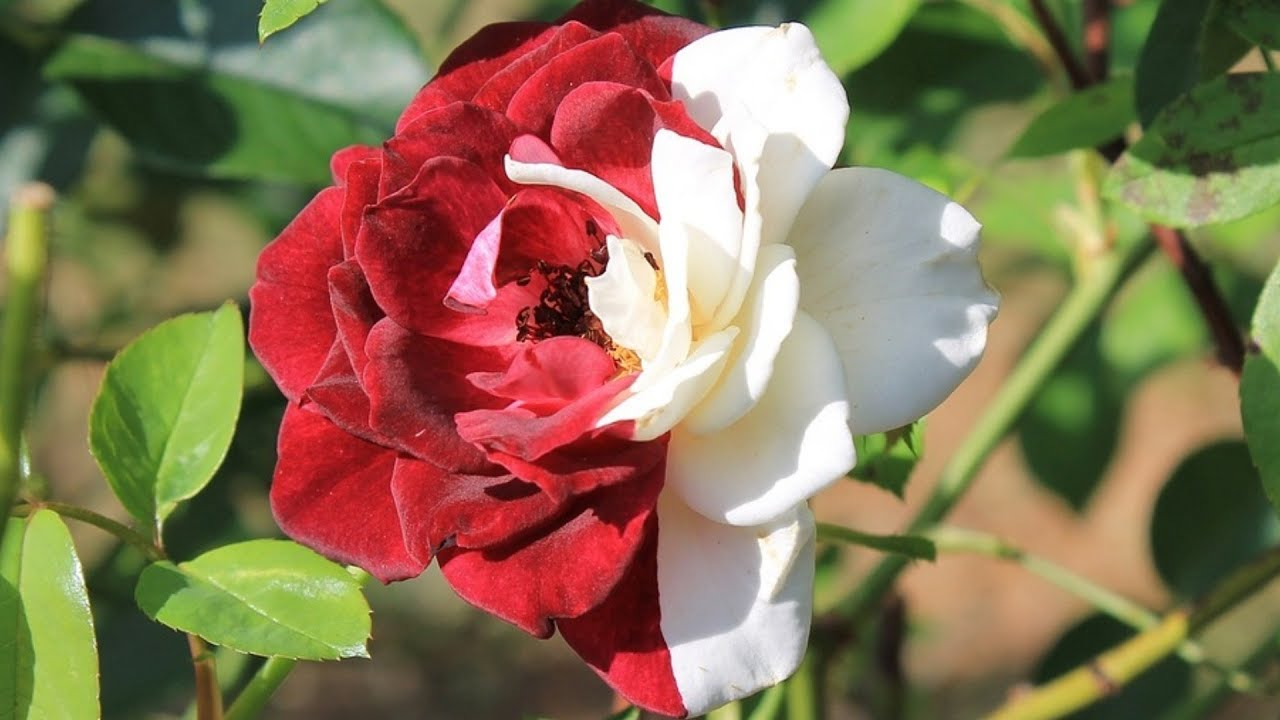 Red And White Roses Youtube